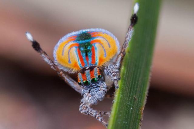 """蜘蛛界的""""孔雀"""",自身携带彩虹,结构奇特"""