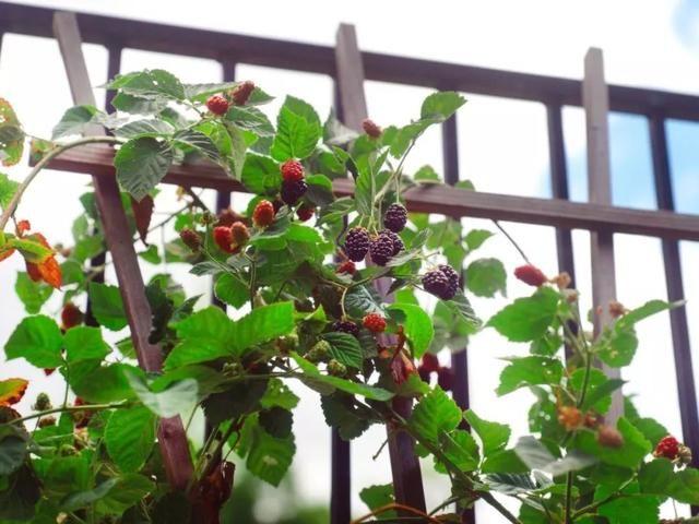 适合在大花盆里养的几种浆果植物,花朵和果子都好看,不养几盆么