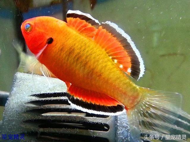 值得饲养的三种小型观赏鱼拥有令人赞叹的华丽体色 观赏鱼常见疾病 重庆水族市场第4张