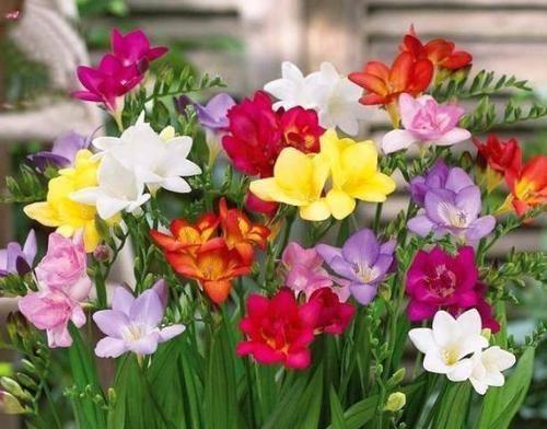 """香雪兰要开花了,提前喂点""""药"""",不仅预防倒伏,还能提早开花叶片给他"""
