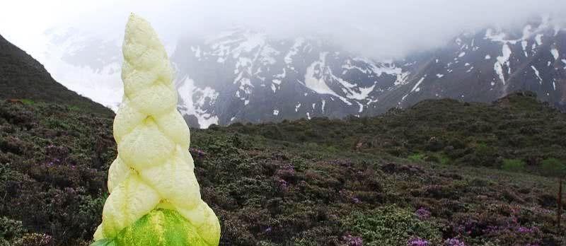 """青藏高原上的""""吉祥三宝""""之一,一生只开一次花,而且用处非常多"""