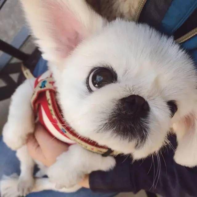 超可爱!看看萌萌的大眼睛京巴,是怎么变身小兔纸哒!