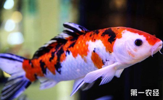 观赏鱼疾病如何防治?观赏鱼常见疾病的治疗方法