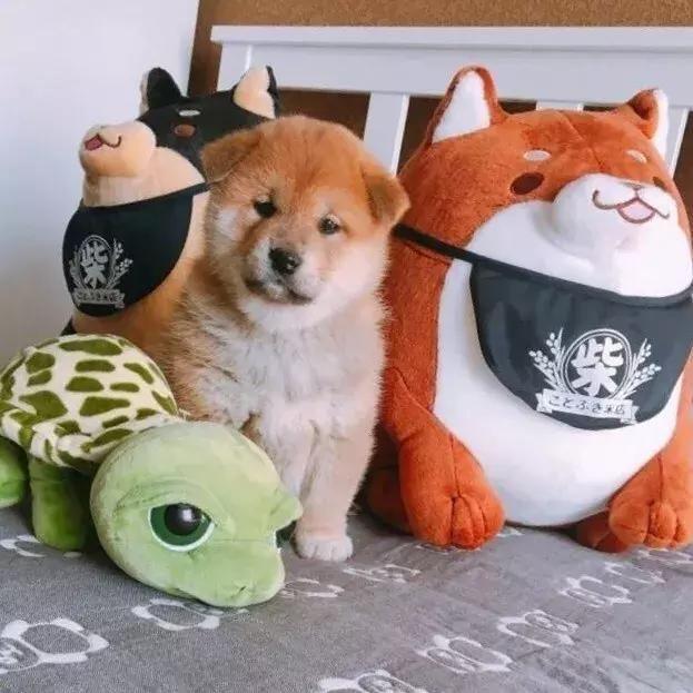 宠物界的表情包杠把子柴犬,小时候其实长得特别萌!