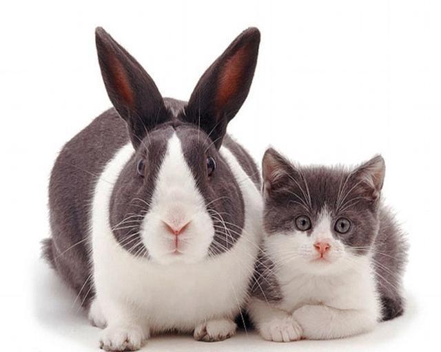 壁纸 动物 猫 猫咪 兔子 小猫 桌面 640_512