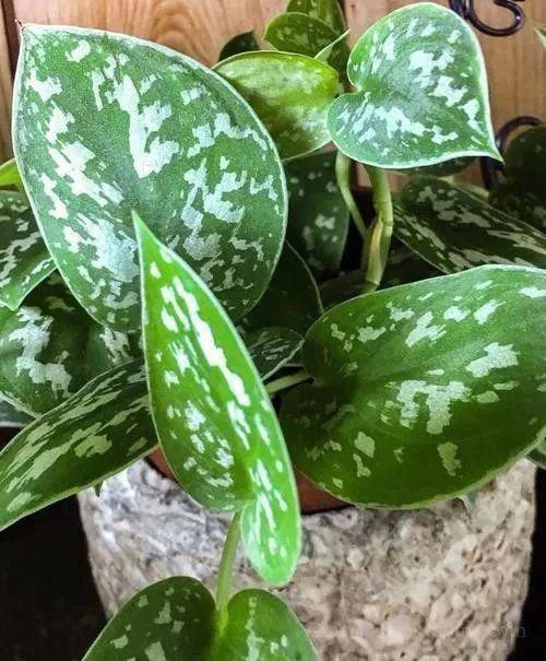 这几种盆栽绿植很多人家里都有养,摆在屋里也能保持叶子翠绿