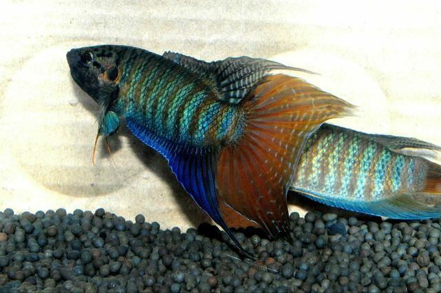 最早的热带观赏鱼也是迄今为最美丽的鱼种之一