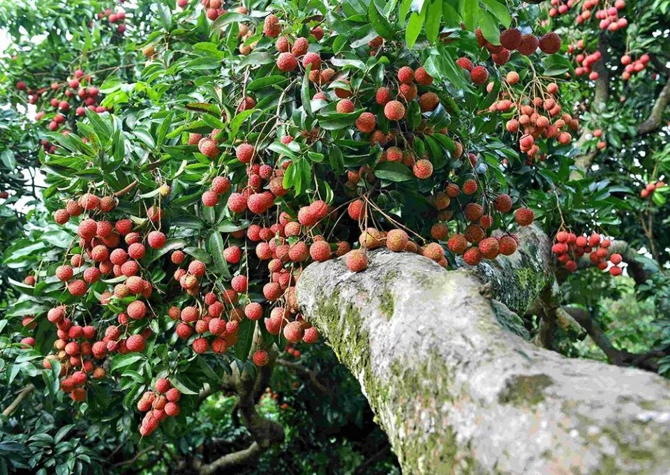 """这""""水果之王""""都吃过,却少有人知它树身是名贵木材,入水即沉"""