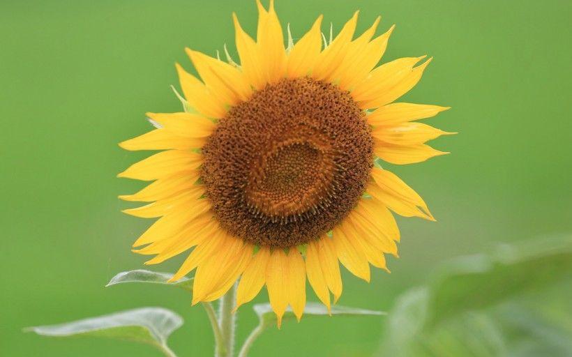 好看的向日葵花做微信头像-唯美护眼太阳花图片