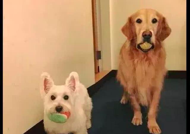 每当主人要出门时两只狗狗的笑容都凝固了这是有多不舍呀!