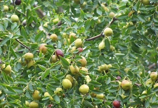 枣树栽培技术 夏季修剪要领