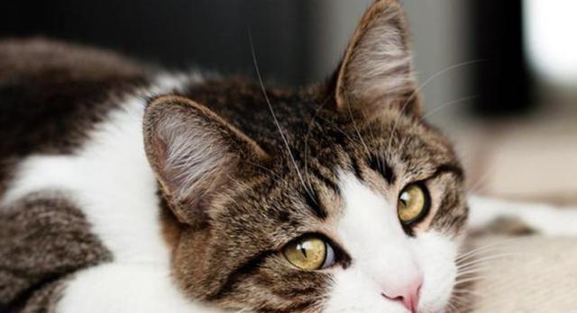 猫咪经常挠自己是身上有跳蚤吗?注意了!猫咪皮肤螨比跳蚤更可怕