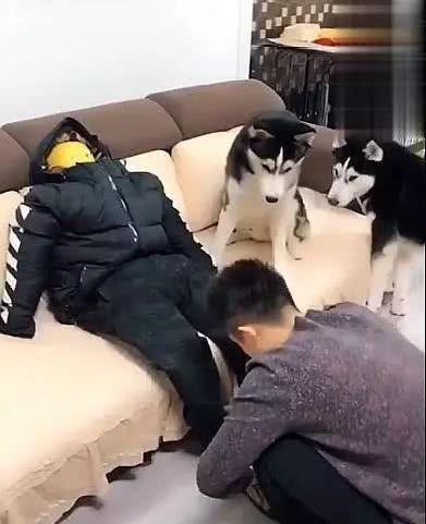 为防止宠物狗拆家,主人出门前给二哈留下个假人,两个钟回来笑了