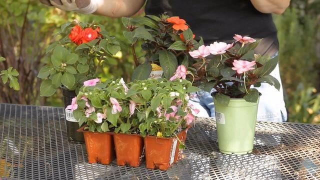 朋友的凤仙花要修剪,剪的枝条浸泡水里生根,很快养成健壮植物