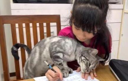 小主人在专心写作业,美短猫却要当捣蛋鬼,各种姿势阻止她做作业