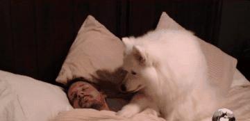 大白狗叫主人起床,因过程太温柔走红,狗:再睡就闷晕你了