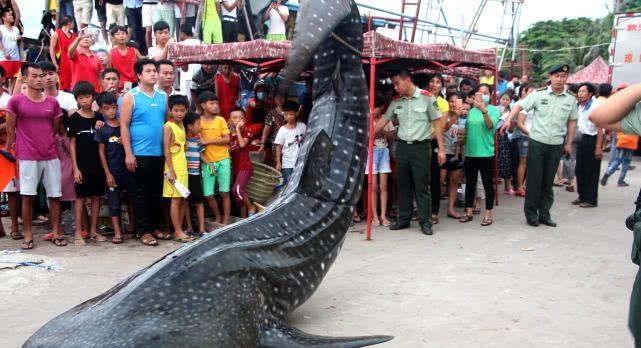 为儒兰群众点赞!千斤鲸鲨海南搁浅死亡 好心群众报警保护鱼身