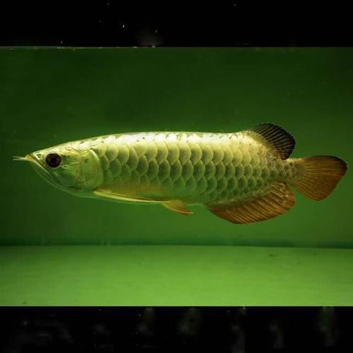 以及巨大的经济利益使的大批人们对过背金龙开始了抢夺式的捕捞行为 水族资讯 南昌水族馆第5张