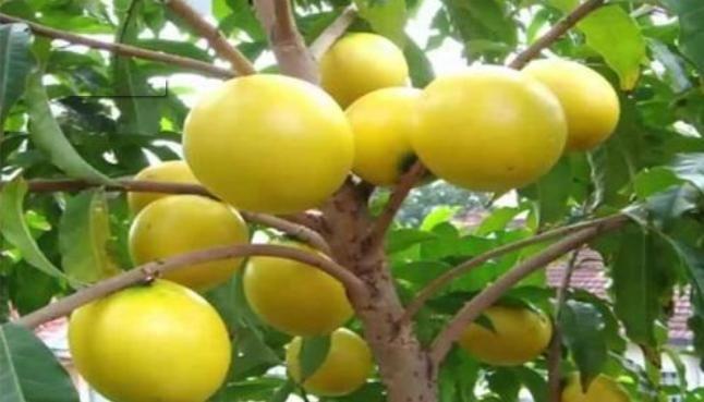 排毒养颜、护肤美容的黄晶果,果农种植前需全面了解几个重要事项是一种万元