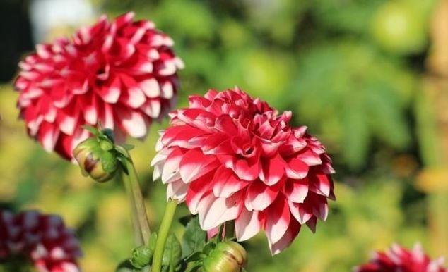 最美不过牡丹花!可你见过五彩斑斓的天竺牡丹么?