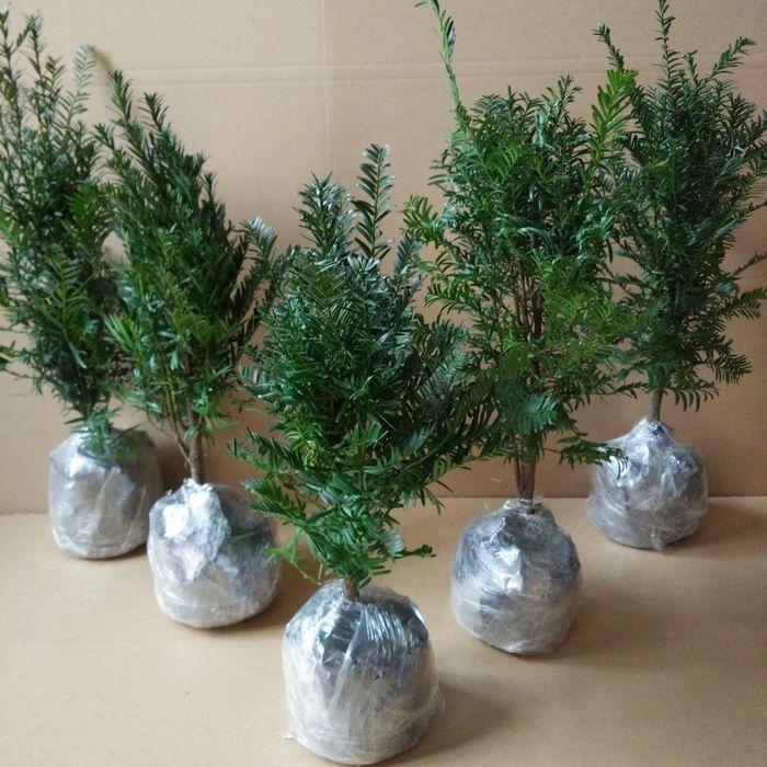 盆栽红豆杉造型十分美观,非常适合放在室内作为观赏性植物,特别适合图片