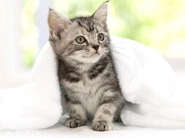 许多人将猫形容为暗夜之中的高贵的王,其实这么说来也没什么不妥,可是在我眼里,猫是多变的,它在白天的一个样,在夜里一个样。 从记事起,家里就没有少过猫的身影。那时住在农村,也不知晓世界上还有许多名贵的猫,甚至认为世上的猫都属于同一个品种。那毛茸茸的一团甚是讨人欢喜,最重要的是,还能免去主人家里老鼠的骚扰。记忆中是每家每户家里都养着猫,小时候串门最大的乐趣就是找到那软软的一团,逗逗乐子。 我一直觉得猫是天神派下来帮助人们守住家的健将,它们自然而然就会抓老鼠这样的特异功能。 现在,就来说说猫吧。我最初的记忆