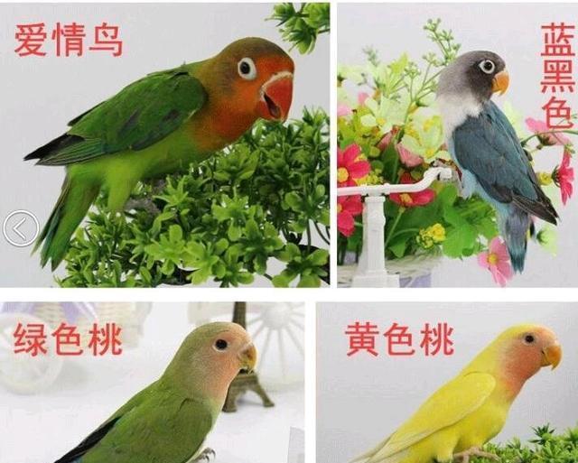 养了3天就受不了的4种鹦鹉,不是主人不爱,是逼